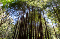 Redwoods in Limekiln Park
